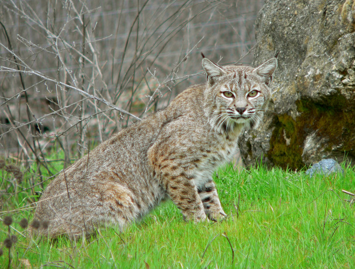 Confused Woman Rescues Wild Bobcat, Mistaking It For A Lost