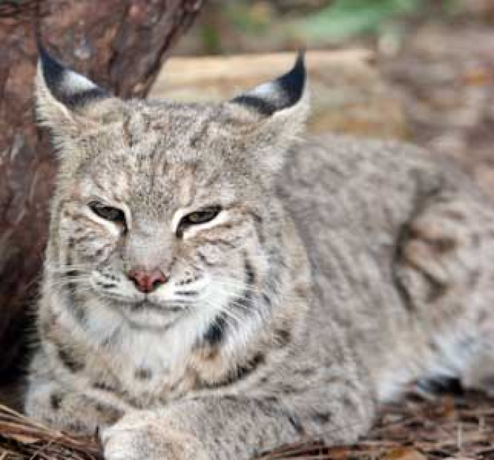 Confused Woman Rescues Wild Bobcat, Mistaking It For A Lost Domestic