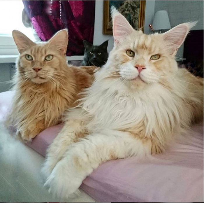 This Breathtaking Maine Coon Cat is Seriously Huge And That's Why