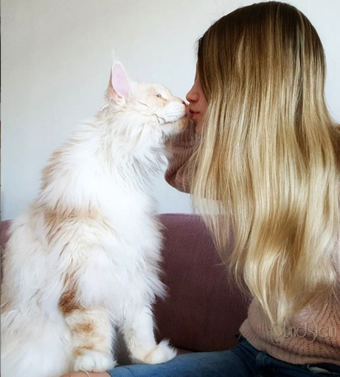 This Breathtaking Maine Coon Cat is Seriously Huge And